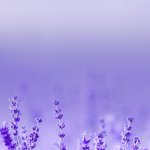 Lavender_PerMax-min